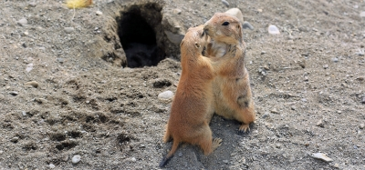 Prairie Dog Dance