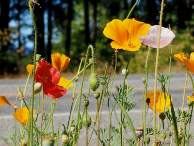 If You See A Fork In The Road..with Poppies…take It!