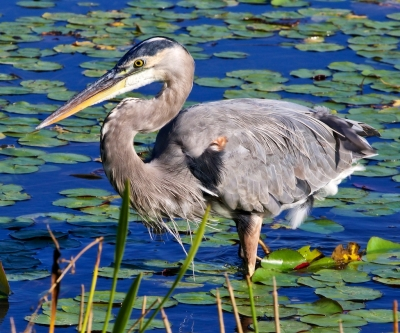 Great Blue Heron Searching For Breakfast