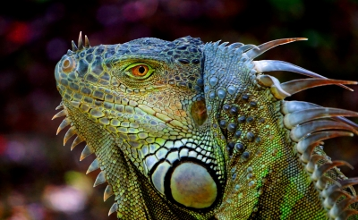 Portrait Of A Green Iguana