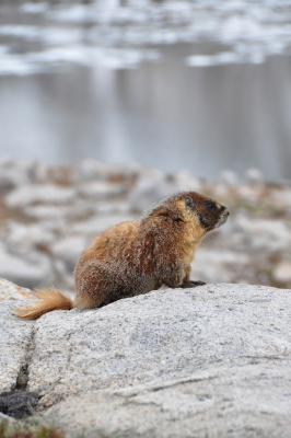 Marmot In The Nine Lake Basin