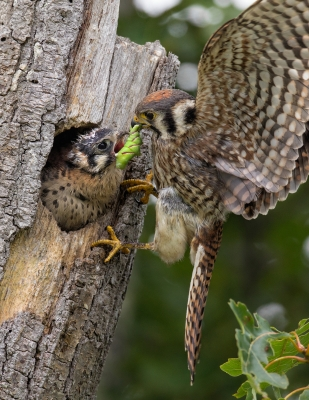 Kestrel Feeding Chick