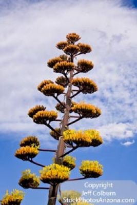 Parry's Agave, Agave Parryi – 2