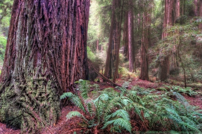Muir Woods Magic