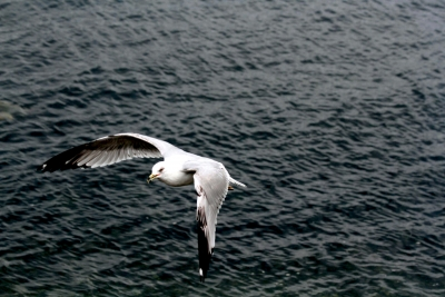 Sea Gull Catching Food