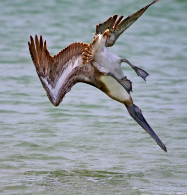 Diving For Dinner – Pelican