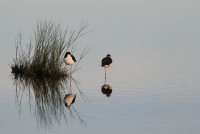 Black Necked Stilts Napping