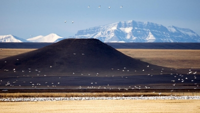 Snow Geese On The Rocky Mountain Front