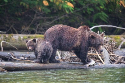 Mother And Cub Fishing