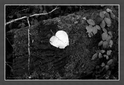 Leaf In B&w