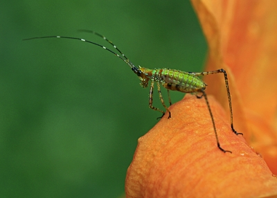 Katydid Nymph On Day Lily
