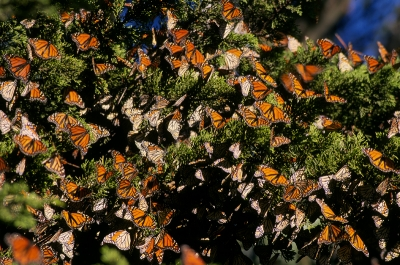 Monarch Butterfly Spring Migration