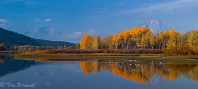 Canada Geese Bask In The Morning Sun At Oxbow Bend
