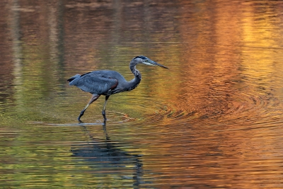 Great Blue Heron And Fall Colors