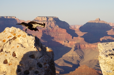 Condor Leaping Into Grand Canyon At Sunset
