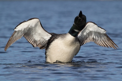 Common Loon Dance