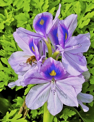 Water Hyacinth With Bee