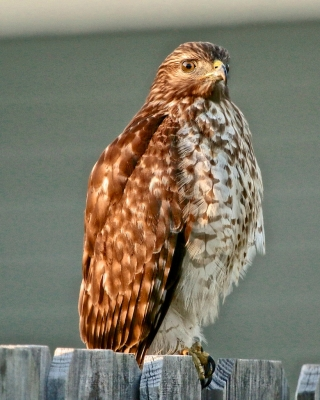 Young Red-shouldered Hawk At Sunset