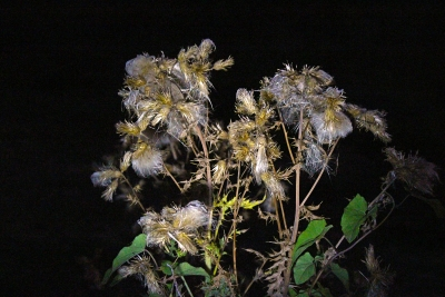 Dry Wildflowers At Night