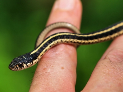 Baby Mountain Gartersnake
