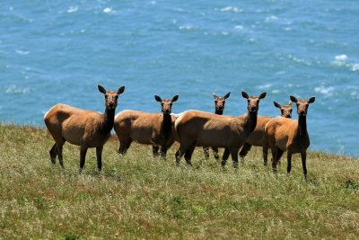 Coastal Tule Elk At Lunch