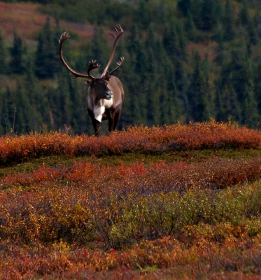 Caribou Colors