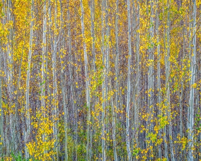 Aspen Glow – Rio Grande National Forest, Co