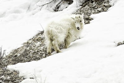 Baby Mountain Goat Spies Options