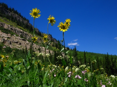 Sunflowers Above The Rest