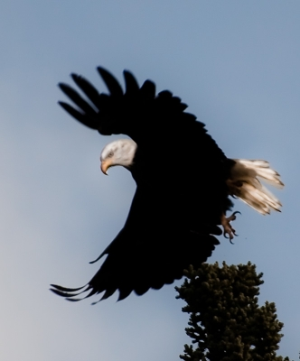 The Majesty Of The Eagle