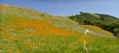 Mt Diablo Spring Green And Poppies