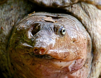 Direct Eye Contact With A Florida Soft-shell Turtle