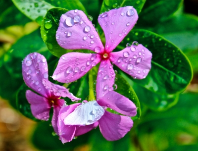 Vinca With Water Droplets