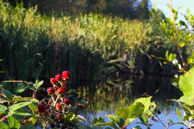 Autumn Berries At The Pond