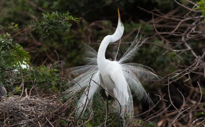 Great Egret Nuptial Display