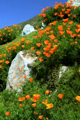 Highway 1 Poppies