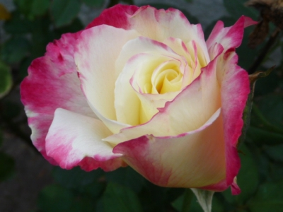 Roses Are… Pink & White