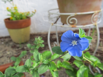 Little Blue Bloom In The Garden
