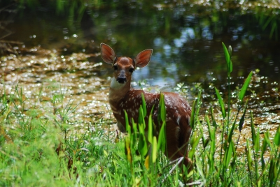 Fawn In The Morning