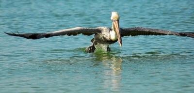 Pelican Taking Off