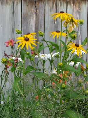 Black Eyed Susans And Friends