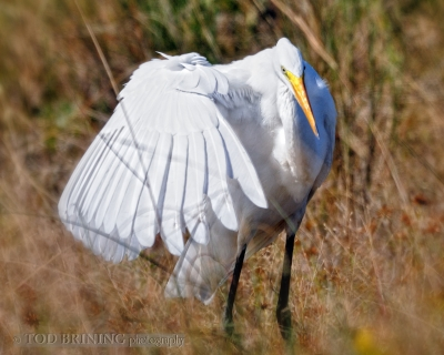 An Egret's Pose