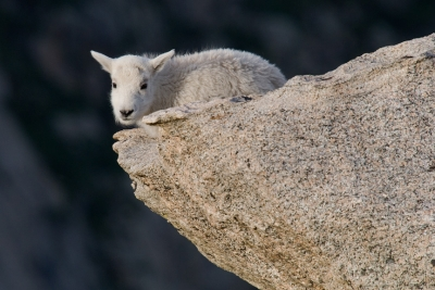 Mountain Goat Kid