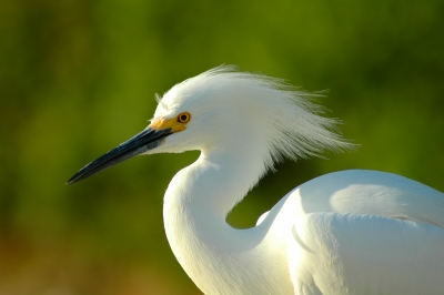 Whispering Of Egret