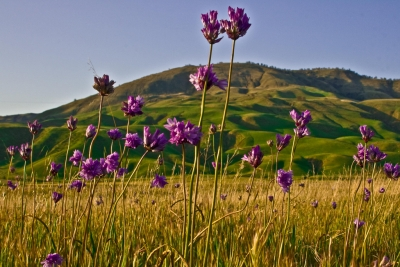 Wild Hyacinth And The San Emigdio Mountains