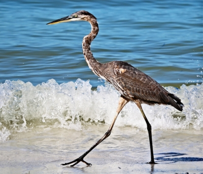 Great Blue Heron Strolling Along The Gulf Of Mexico