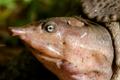 Portrait Of A Florida Soft-shell Turtle