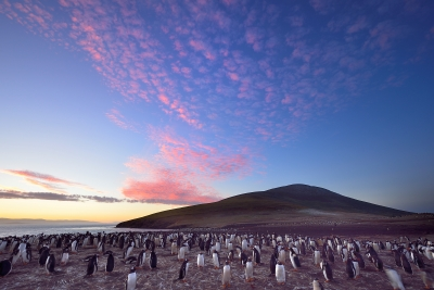 Penguins At Twilight