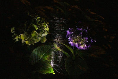 Hydrangia Flowers In A Spider Web At Night