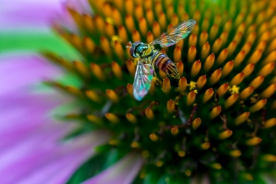 Hover Fly On Coneflower